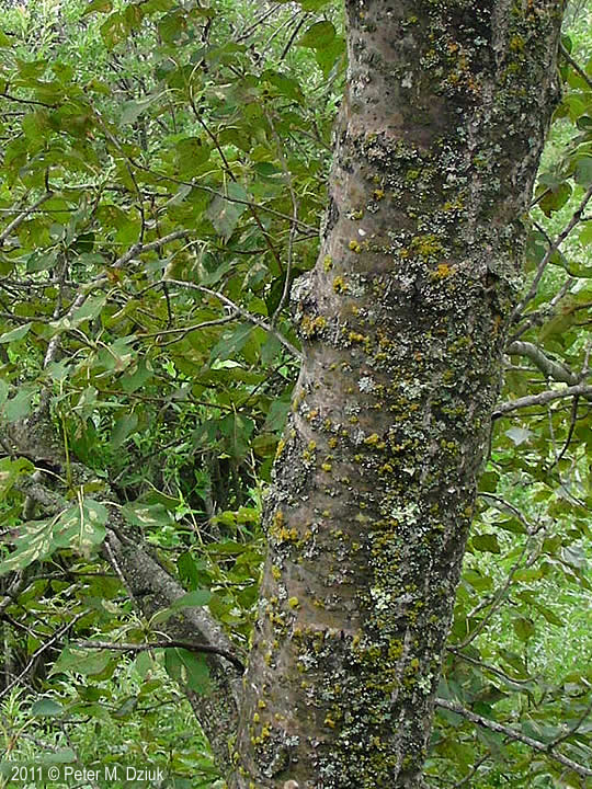Populus balsamifera (Balsam Poplar): Minnesota Wildflowers | 540 x 720 jpeg 136kB