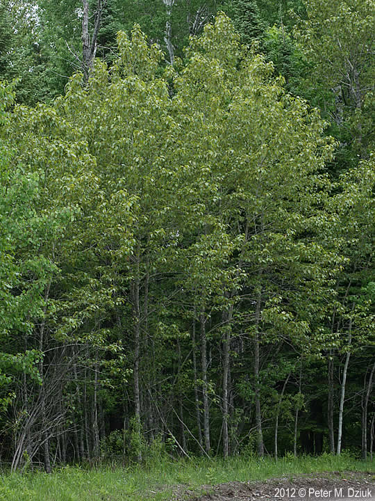 Populus Balsamifera Balsam Poplar Minnesota Wildflowers