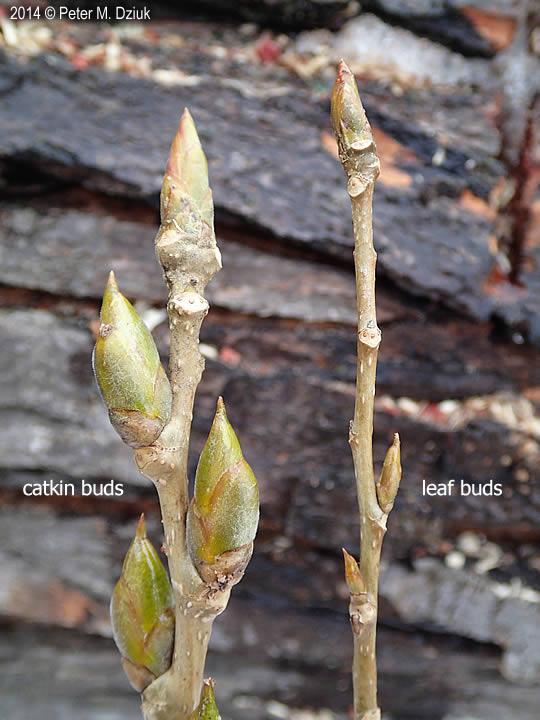 Populus Deltoides Plains Cottonwood Minnesota Wildflowers