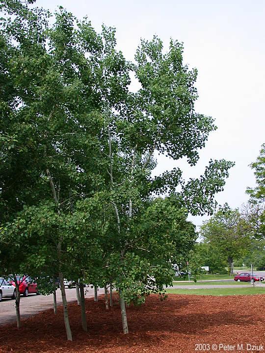 Populus Tremuloides Quaking Aspen Minnesota Wildflowers