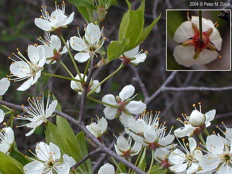 Prunus americana (Wild Plum): Minnesota Wildflowers