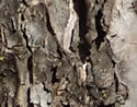 [photo of older, flaking bark]