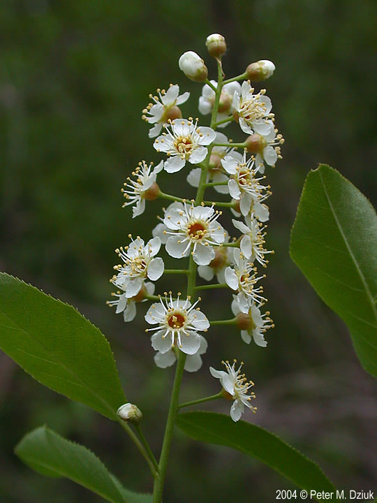Prunus Serotina Black Cherry Minnesota Wildflowers