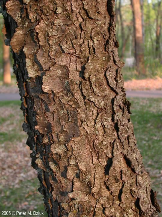 Prunus serotina (Black... Prunus Serotina Bark