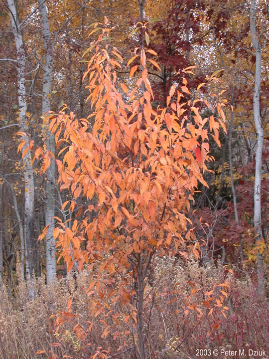 Prunus Serotina Black Cherry Minnesota Wildflowers