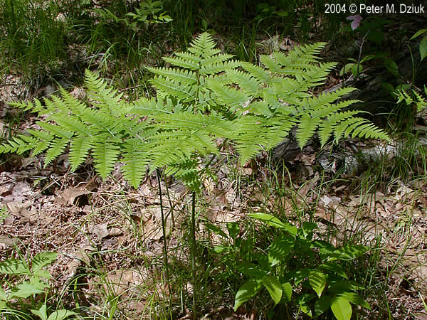 Tips for Growing Fern Plants - The Spruce