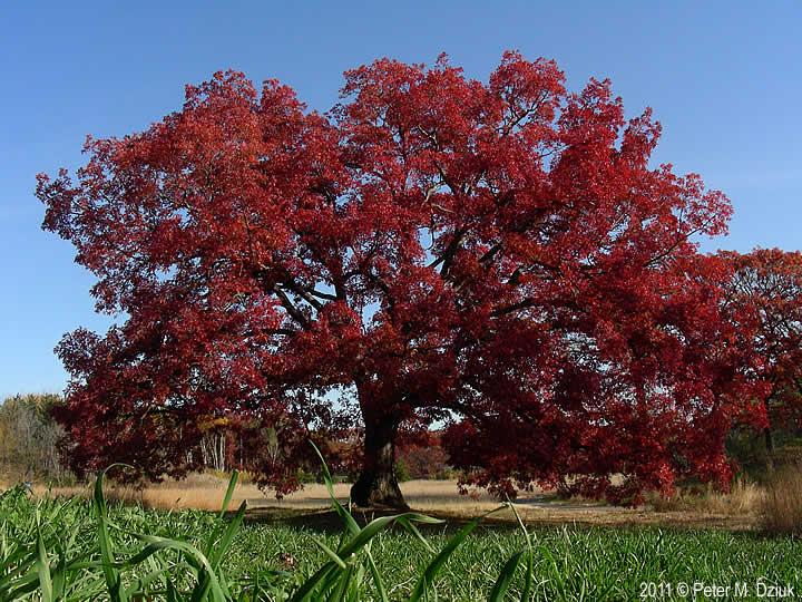 Quercus alba (White Oak): Minnesota Wildflowers  Quercus alba (W...