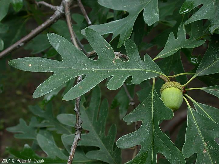quercus alba white oak minnesota wildflowers