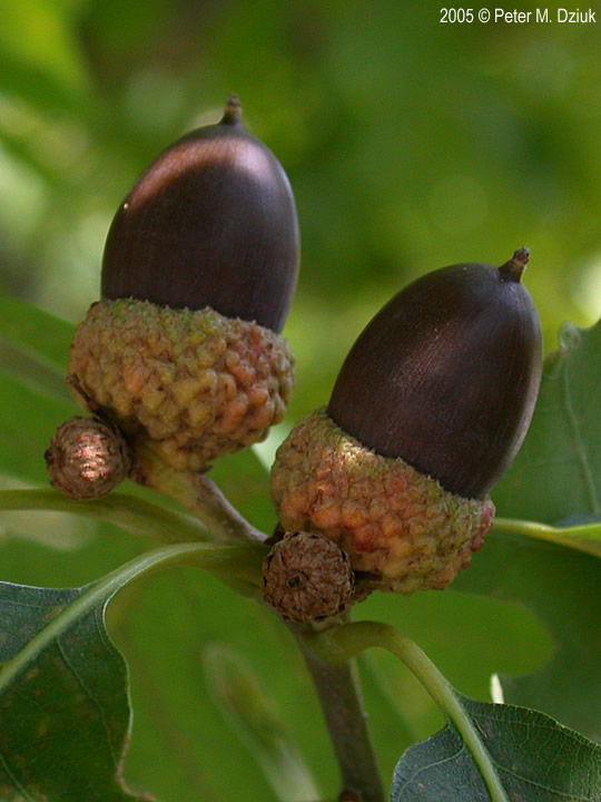 White Oak Fruit ~ Quercus alba white oak minnesota wildflowers
