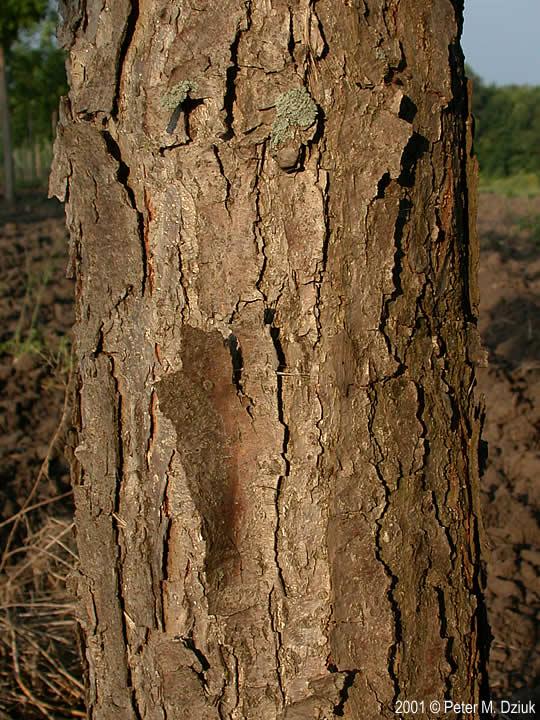 Quercus Bicolor Bark ... peeling bar...