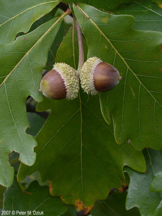 White Oak Fruit ~ Quercus bicolor swamp white oak minnesota wildflowers