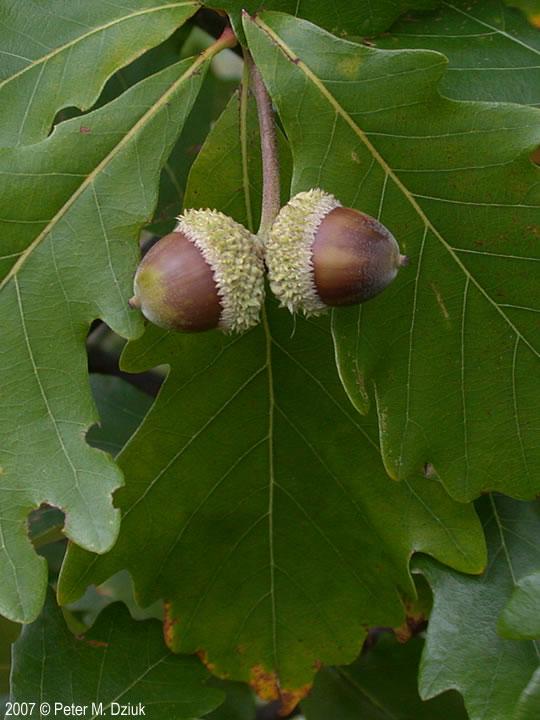 Quercus bicolor swamp white oak Go Botany