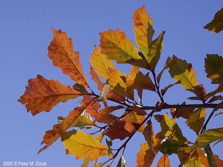 Quercus bicolor swamp white oak minnesota wildflowers