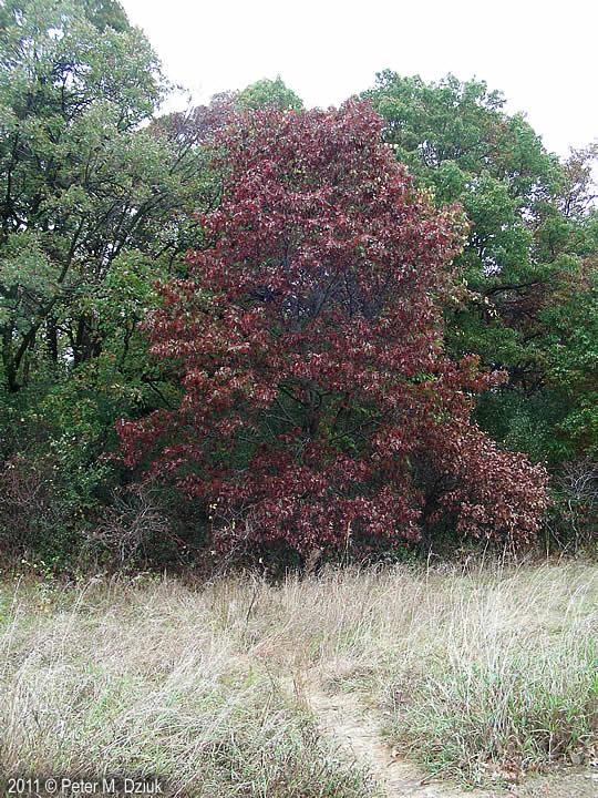 Quercus Ellipsoidalis Northern Pin Oak Minnesota