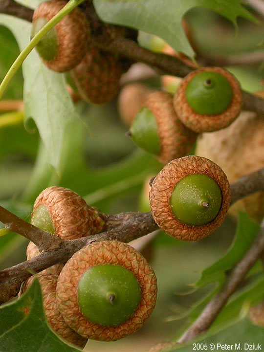 Oak Tree Fruit Part - 26: Fruit ...