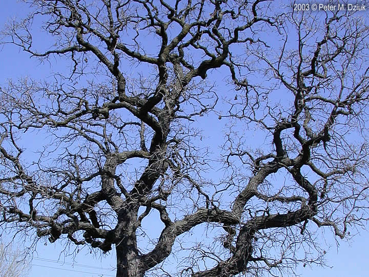 "burr oak mature singles Pin oak quercus palustris ""the pin oak pleases me for reasons i cannot wholly explain,"" wrote nature writer hal borland in a countryman's  mature size the ."