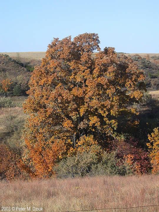 Quercus macrocarpa flowers