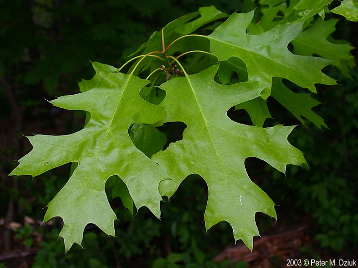 Quercus Rubra Northern Red Oak Minnesota Wildflowers