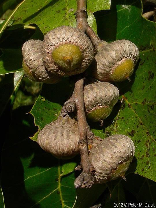 Quercus velutina  Black Oak Quercus Coccinea Acorn