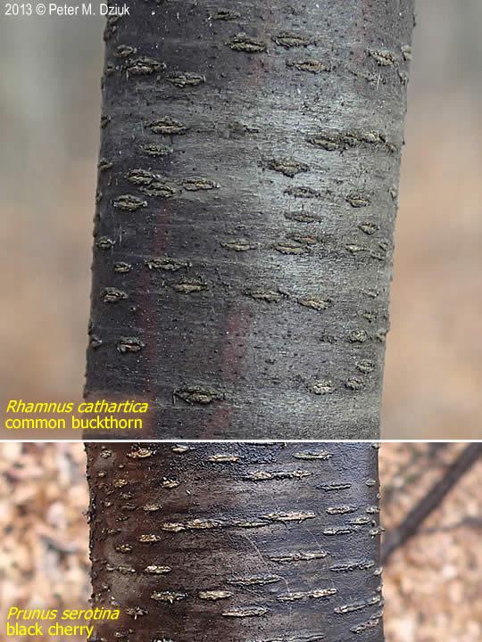 Rhamnus cathartica (Common Buckthorn): Minnesota Wildflowers