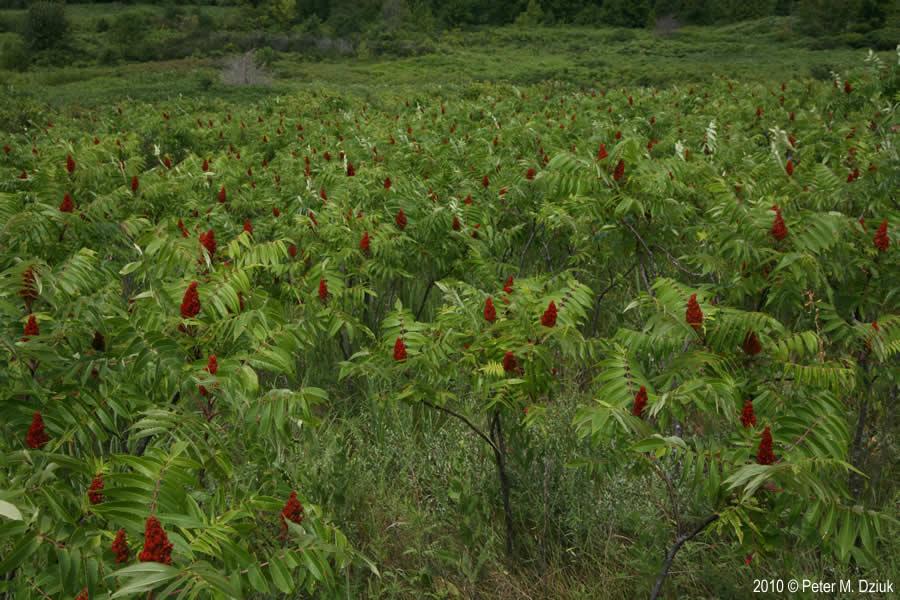 Rhus Glabra Smooth Sumac Minnesota Wildflowers