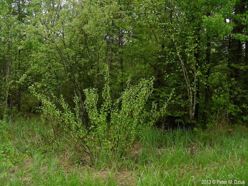 Ribes Americanum Wild Black Currant Minnesota Wildflowers