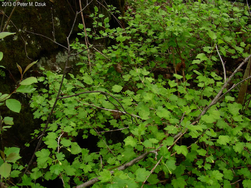 Ribes Cynosbati Prickly Gooseberry Minnesota Wildflowers