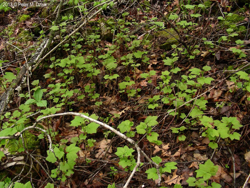 Ribes Triste Swamp Red Currant Minnesota Wildflowers