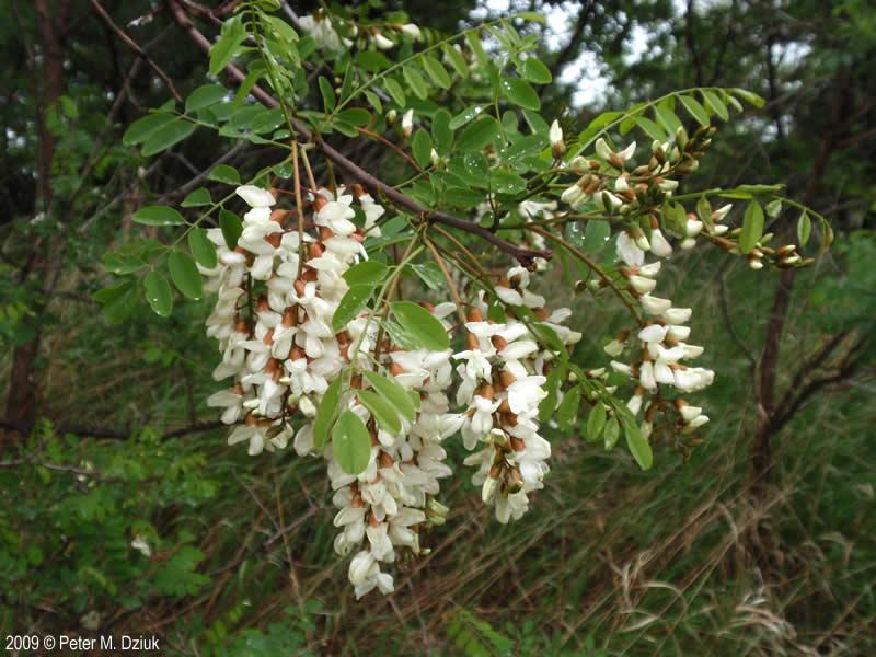 Black Locust Is a Common Tree in North America