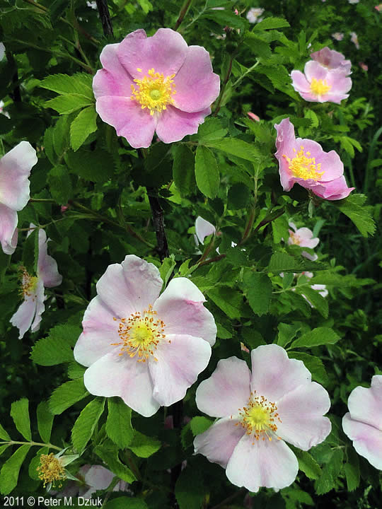 Rosa Blanda Smooth Wild Rose Minnesota Wildflowers