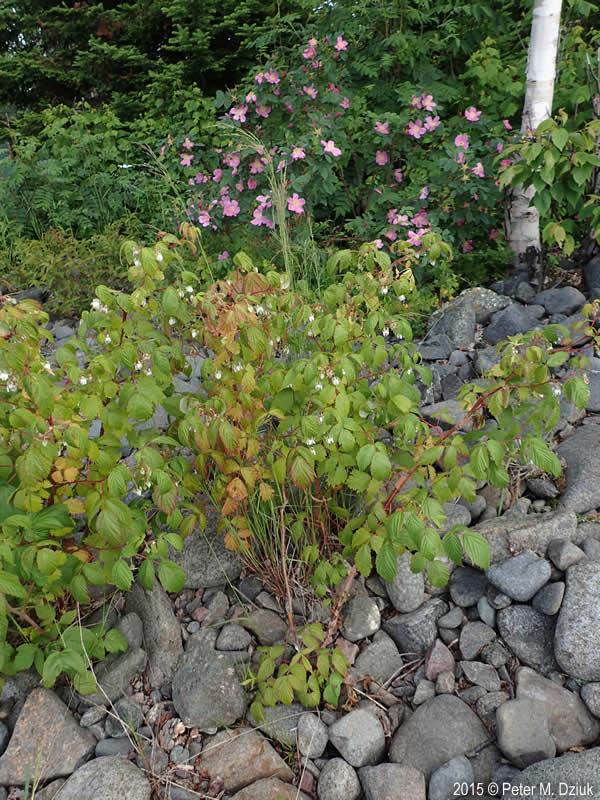 Rubus Idaeus Wild Red Raspberry Minnesota Wildflowers