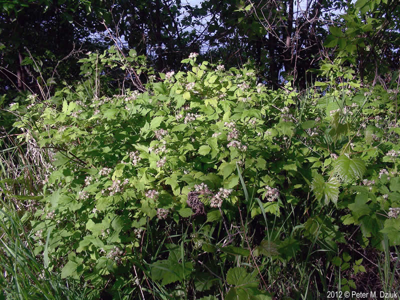 Rubus Occidentalis Black Raspberry Minnesota Wildflowers