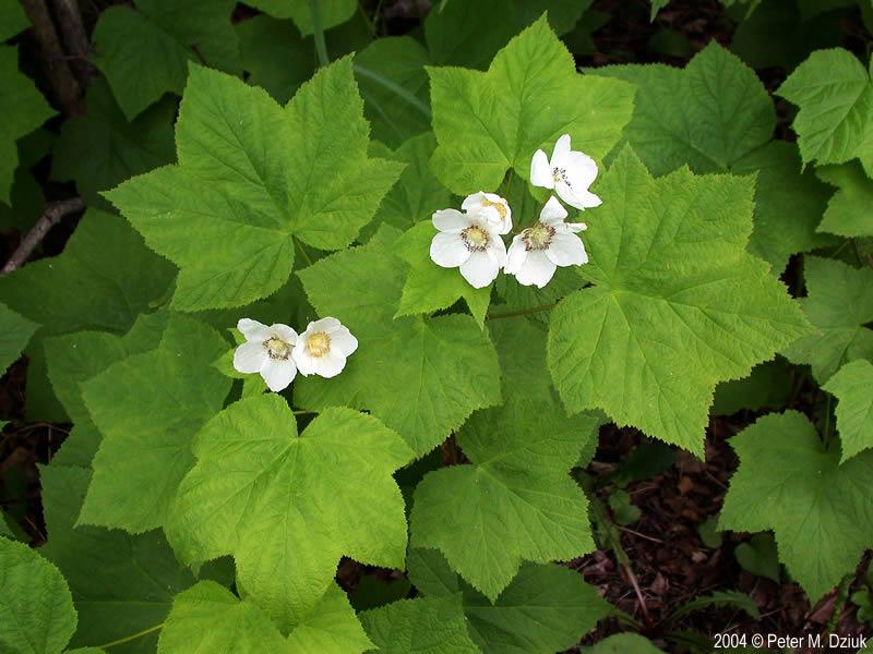 rubus parviflorus  thimbleberry   minnesota wildflowers