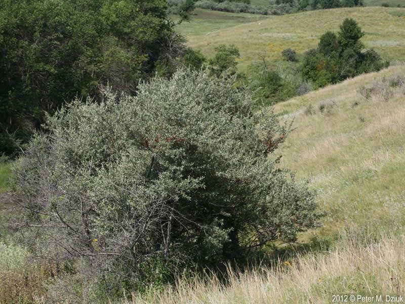 Shepherdia Argentea Silver Buffaloberry Minnesota