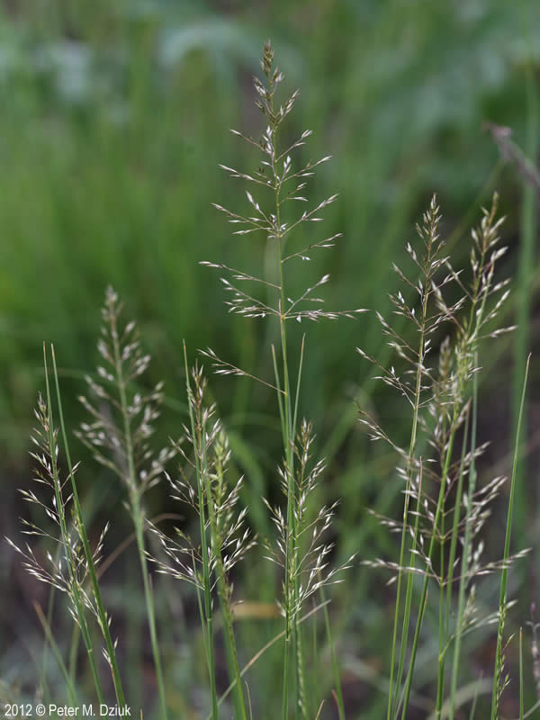 sporobolus heterolepis  prairie dropseed   minnesota wildflowers