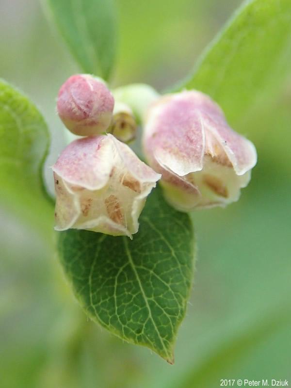 Symphoricarpos Albus Snowberry Minnesota Wildflowers