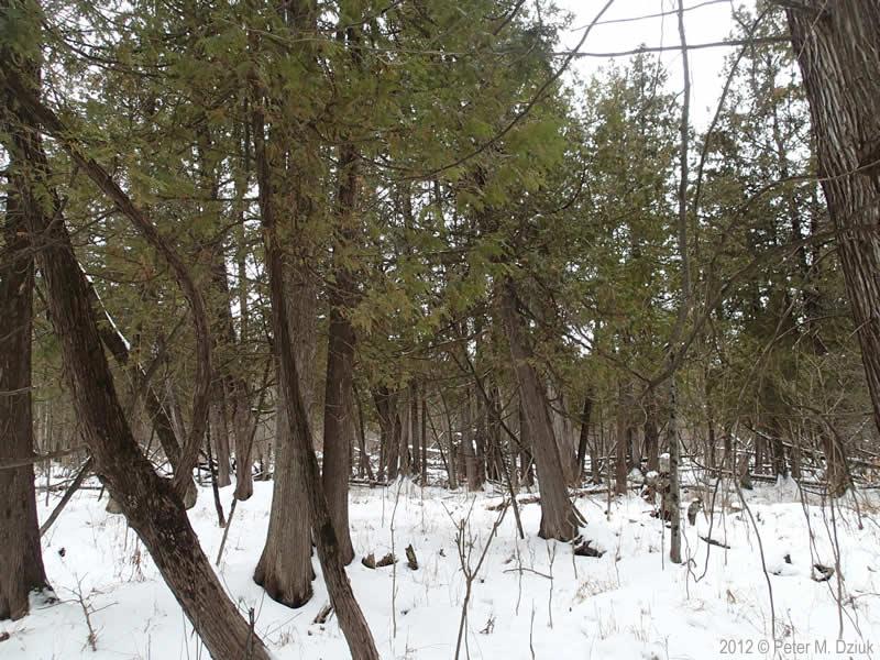 Thuja Occidentalis White Cedar Minnesota Wildflowers