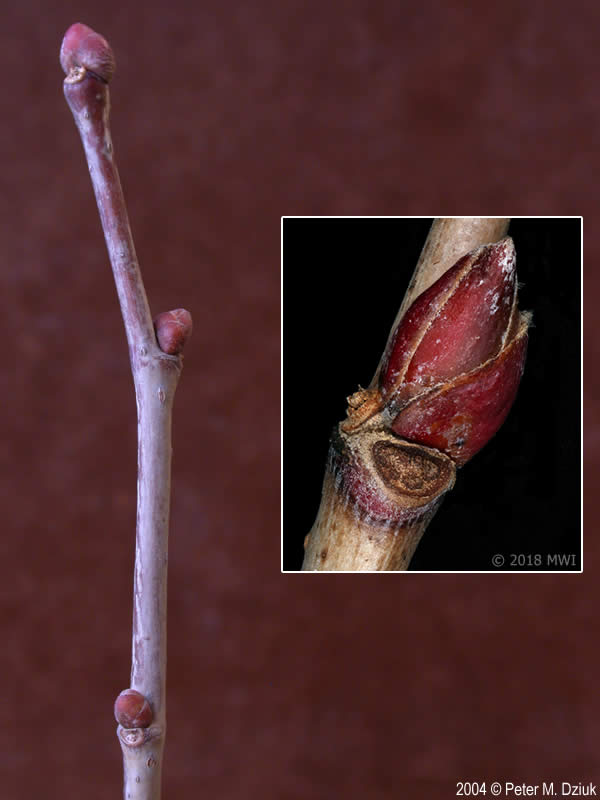 Tilia Americana American Basswood Minnesota Wildflowers