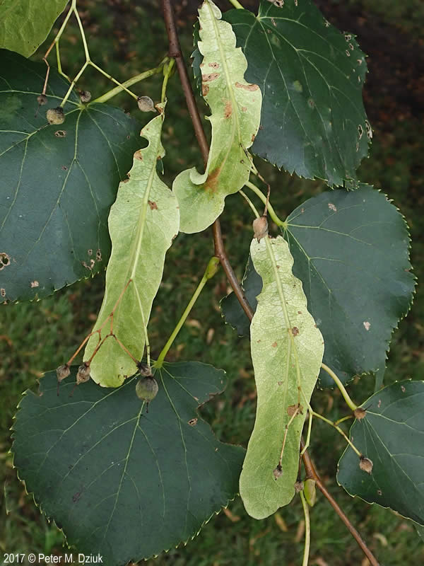 Tilia Cordata Little Leaf Linden Minnesota Wildflowers