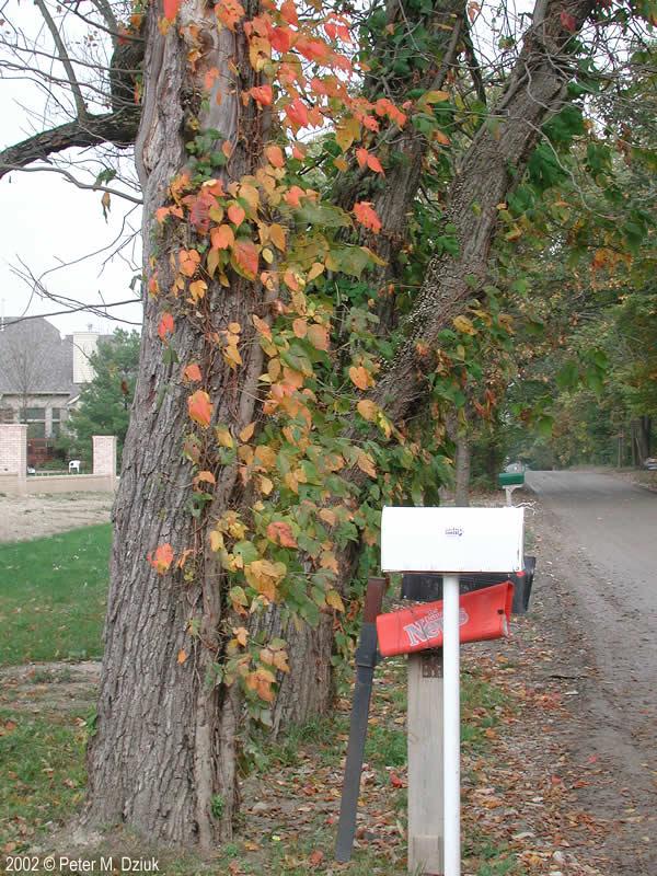 Toxicodendron Radicans Eastern Poison Ivy Minnesota