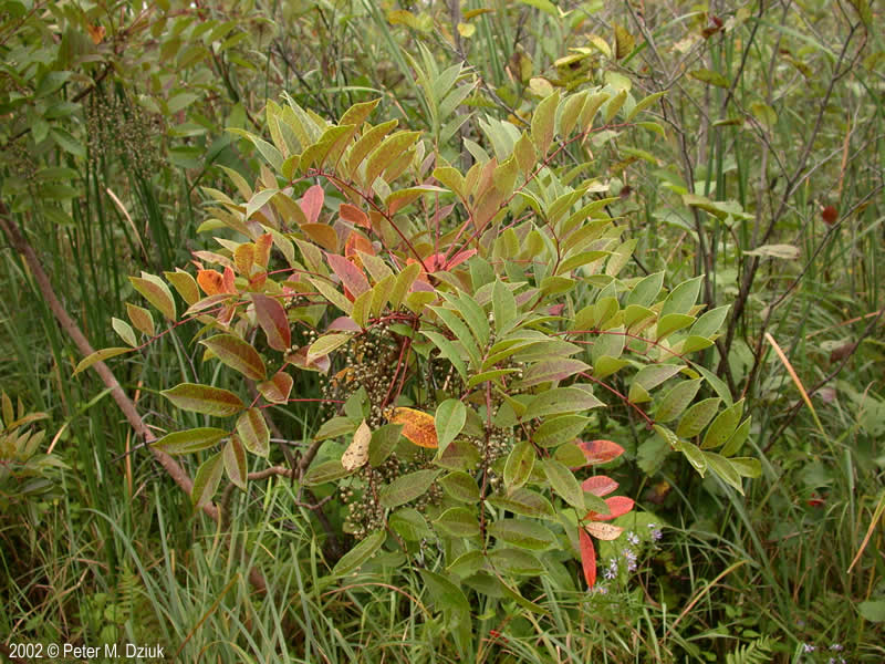 toxicodendron vernix poison sumac minnesota wildflowers