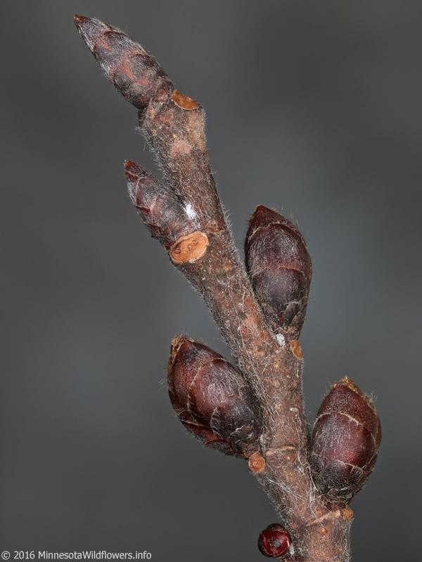 Ulmus Americana Twig Ulmus americana...