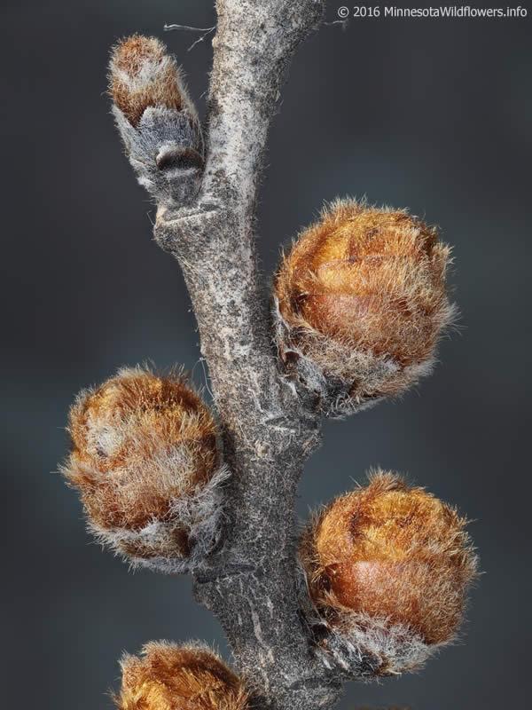 Ulmus Rubra Red Elm Minnesota Wildflowers
