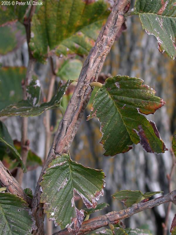 Ulmus Thomasii Rock Elm Minnesota Wildflowers