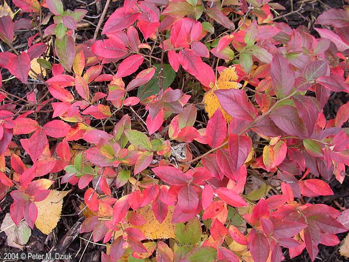 Vaccinium Angustifolium Lowbush Blueberry Minnesota