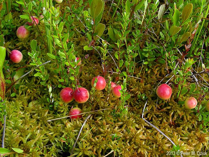 Vaccinium macrocarpon large cranberry minnesota wildflowers for Vaccinium macrocarpon