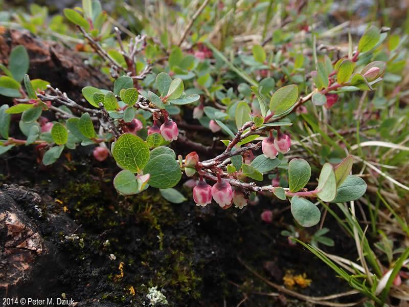 Vaccinium Uliginosum Alpine Bilberry Minnesota Wildflowers