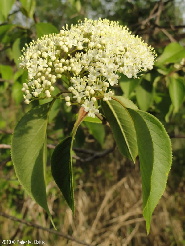 Viburnum Lentago Nannyberry Minnesota Wildflowers