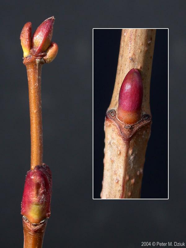 Viburnum Opulus Var Opulus Guelder Rose Minnesota