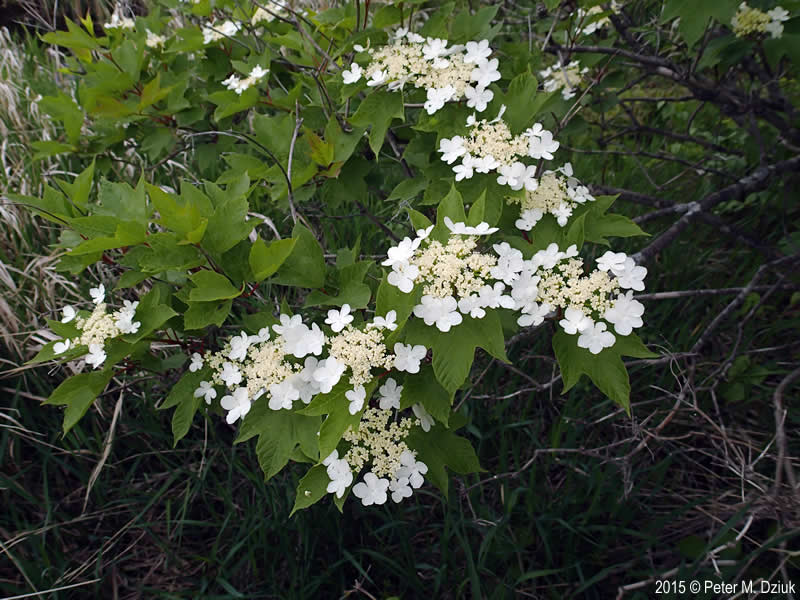Viburnum Opulus Var Americanum American Highbush